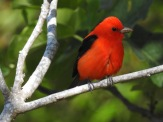 Scarlet Tanager
