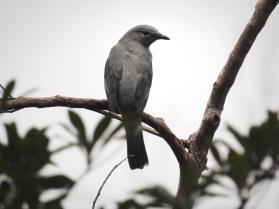 Black-winged Cuckooshrike