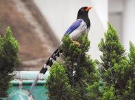 Red-billed Blue Magpie