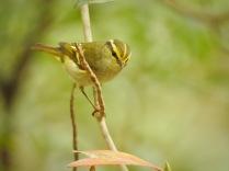 Pallas's Leaf Warbler