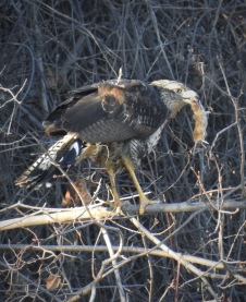 Great Black Hawk (rarity in Maine!)