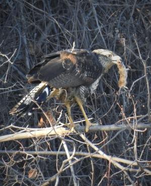 Great Black Hawk (rarity in Maine!)