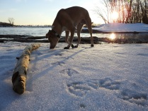 Canada Goose tracks (and Teddy!)