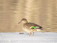 Green-winged Teal (female)