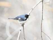 Black-throated Blue Warlber