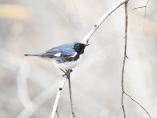 Black-throated Blue Warlber