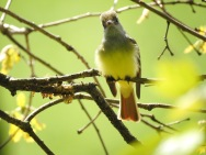 Great Crested Flycatcher