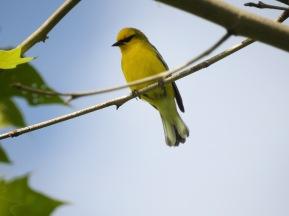 Blue-winged Warbler
