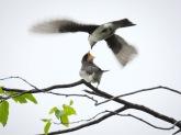 Tree Swallows