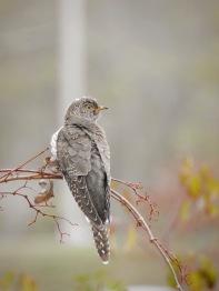 Common Cuckoo (rarity in Rhode Island)