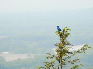 Indigo Bunting above the Pioneer Valley of Massachusetts