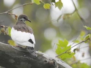 Leucistic Mourning Dove