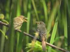 Alder Flycatchers